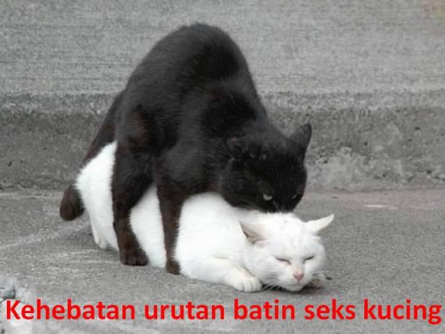 Kehebatan urutan batin seks kucing