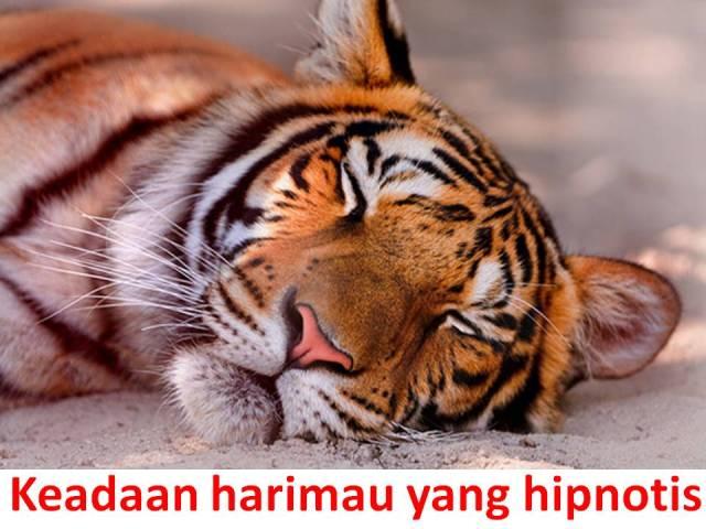 Keadaan harimau yang hipnotis